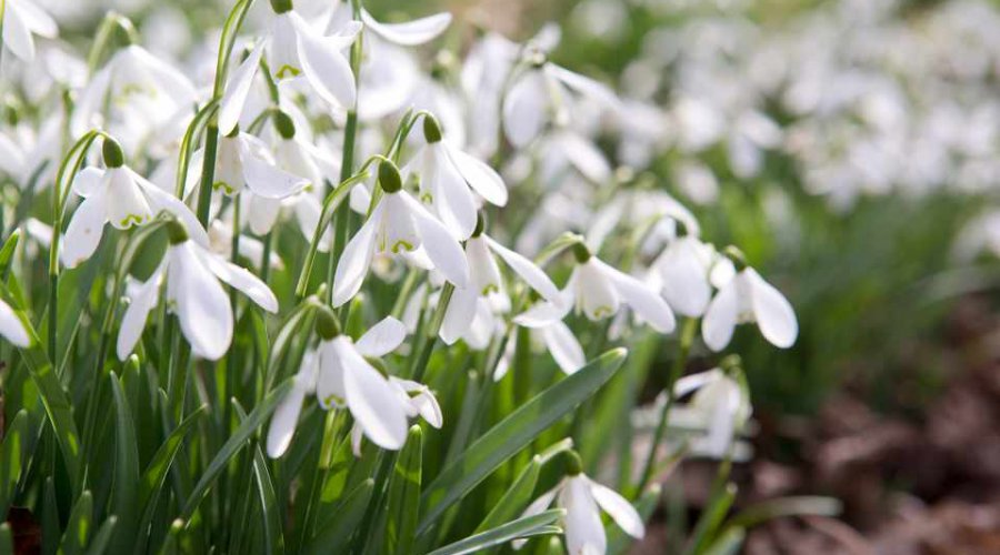 Snowdrops - Galanthus